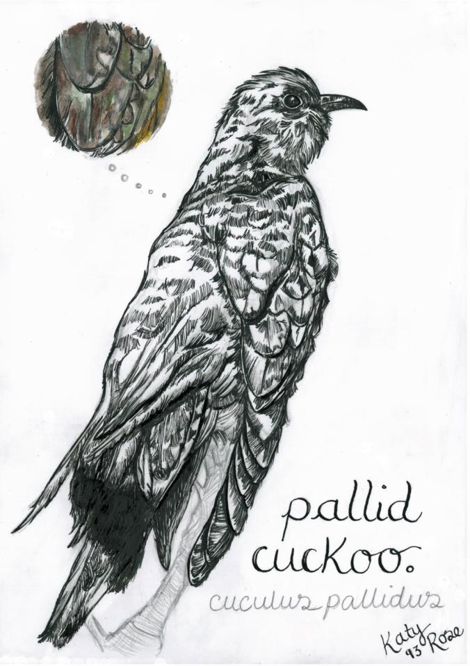 pallid cuckoo - katy rose